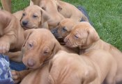 R Star Ridgeback Puppies 5 Weeks